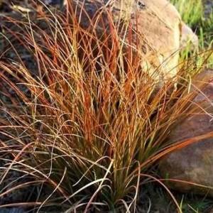 Iarbă ornamentală ruginie (Carex testacea 'Prairie Fire')