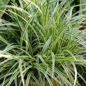 Iarbă ornamentală verde cu galben (Carex morrowii 'Vanilla Ice')