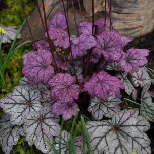 "Heuchera argintiu cu purpuriu (Heuchera ""Sugar Plum"")"