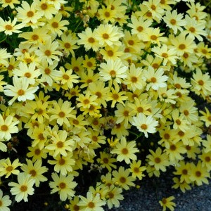 """Coreopsis cu flori galbene (Coreopsis """"Creme Brulee"""")"""