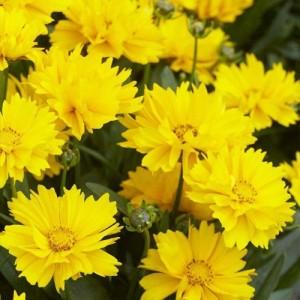 Coreopsis pitic cu florile galbene (Coreopsis grandiflora 'Presto')