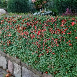 """Cotoneaster semi târâtor (Cotoneaster x suecicus """"Skogholm"""")"""