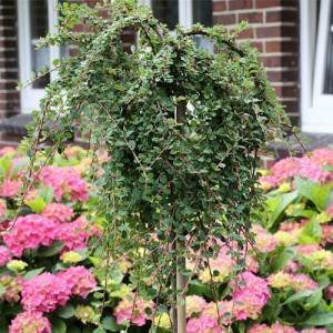"Cotoneaster târâtor altoit pe trunchi (Cotoneaster dammeri ""Queen of Carpets"")"