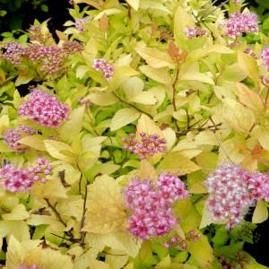 """Cununița cu frunzele galbene (Spiraea japonica """"Golden Princess"""")"""