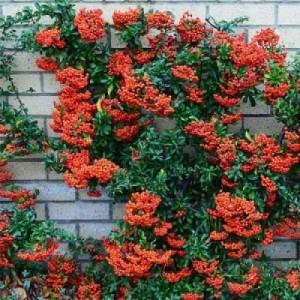 "Piracanta cu fructe roșii (Pyracantha coccinea ""Mohave"")"