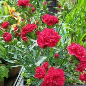 """Garofite cu flori roșii (Dianthus gratianopolitanus """"Bombardier"""")"""