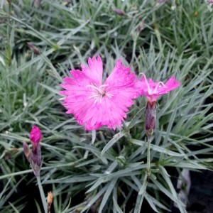"""Garofițe roz (Dianthus gratianopolitanus """"Feuerhexe"""")"""