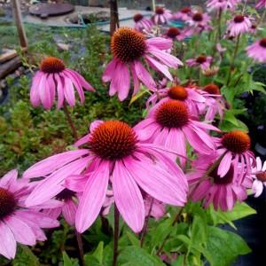 "Echinaceea cu flori roz (Echinacea purpurea ""Deep Rose"")"