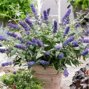 "Liliac pitic de vară (Buddleja davidii ""Nanho Blue"")"