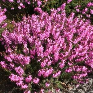Erica pitică cu florile roz (Erica carnea 'Rosalie')
