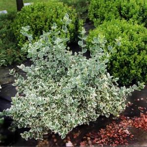 """Euonimus verde cu alb (Euonymus fortunei """"Emerald Gaiety"""")"""