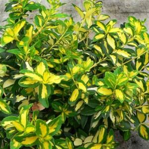 "Euonimus verde cu centrul galben (Euonymus fortunei ""Sunspot"")"