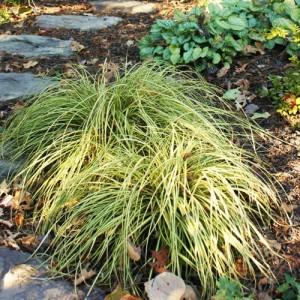 Iarba ornamentală - Carex oshimensis 'Evergold'