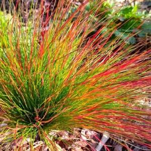Iarbă ornamentală verde cu spicele roșii (Festuca 'Walberla')