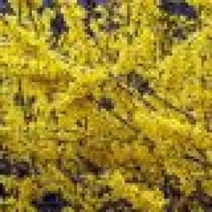"""Ploaia de aur (Forsythia x intermedia """"Lynwood"""")"""