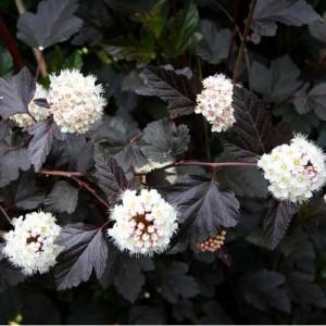 "Fizocarp roșu (Physocarpus opulifolius ""Red Baron"")"