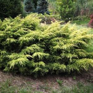 """Ienupăr galben (Juniperus chinensis """"Saybrook Gold"""")"""