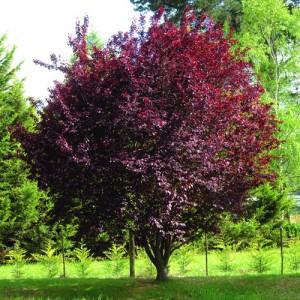"Corcoduș ornamental roșu (Prunus cerasifera ""Woody"")"