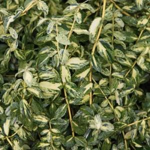 """Euonymus fortunei (""""Golden Harlequin"""")"""