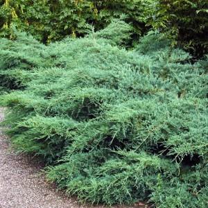 """Ienupăr albăstrui (Juniperus virginiana """"Silver Spreader"""")"""