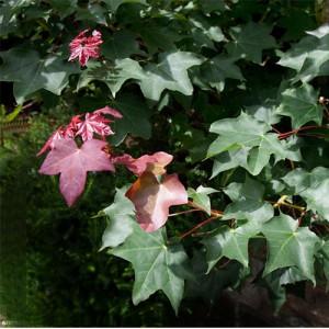 "Arțar (Acer Cappadocicum ""Rubrum"")"