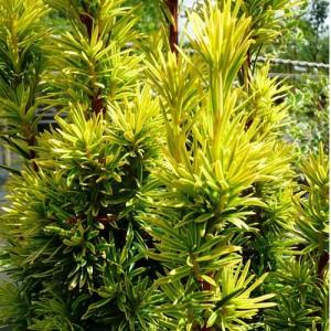 """Tisa aurie (Taxus baccata """"Kleefeld"""")"""