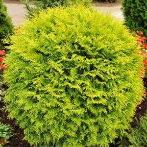 """Tuia globulos galben (Thuja occidentalis """"Danica Aurea"""")"""