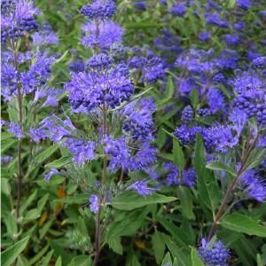 """Barba albastră (Caryopteris x clandonensis """"Heavenly Blue"""")"""