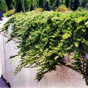 "Ienupăr orizontal verde albăstrui (Juniperus horizontalis ""Prince of Wales"")"