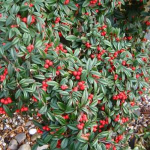 "Cotoneaster târâtor (Cotoneaster hybrid ""Bella"")"