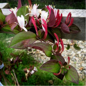 """Caprifoi roșu (Lonicera japonica """"Purpurea"""")"""