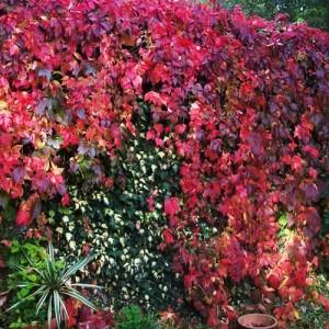 "Vița de vie sălbatică (""Parthenocissus quinquefolia"")"