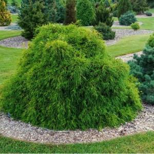 "Chiparos verde ușor pendul (Chamaecyparis pisifera ""Filifera Nana"")"