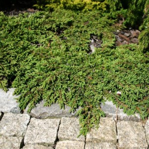 "Ienupăr târâtor verde (Juniperus communis ""Repanda"")"