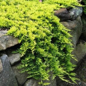 "Ienupăr orizontal galben (Juniperus horizontalis ""Golden Carpet"")"