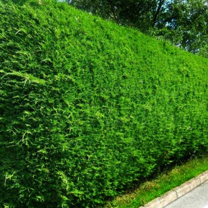 "Leiland verde-albăstrui (""Cupressocyparis leylandii"")"