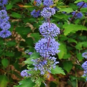 """Barbă albastră (Caryopteris incana """"Cary"""")"""