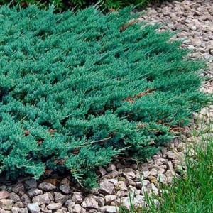 """Ienupăr orizontal albăstrui (Juniperus horizontalis """"Blue Chip"""")"""
