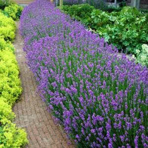 "Lavanda în ghiveci mov (Lavandula angustifolia ""Essence Purple"")"