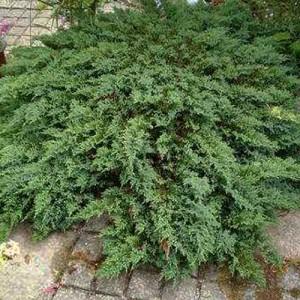 """Ienupăr târâtor verde (Juniperus rec. """"Prostrata"""")"""