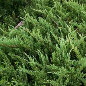 """Ienupăr verde (Juniperus sabina """"Tiszakurt"""")"""