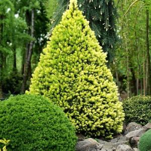 """Molid pitic verde și galben (Picea glauca """"Daisy White"""")"""