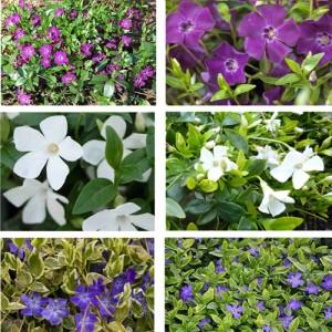 Ofertă vinca 3 bucăți - flori albe, purpurii, albastre
