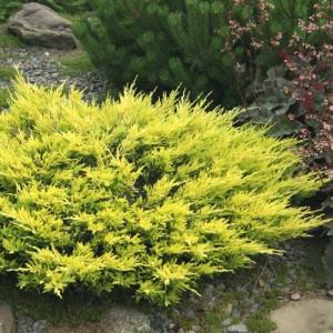 """Ienupăr orizontal galben (Juniperus horizontalis """"Limeglow"""")"""
