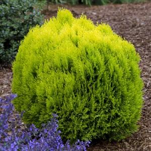 "Tuia pitic auriu (Thuja orientalis ""Morgan"")"