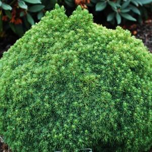 """Molid globular (Picea glauca """"Alberta Globe"""")"""