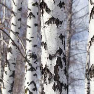 Mesteacăn (Betula pendula)
