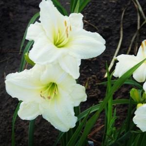 Crin de vară cu flori albe (Hemerocallis 'Cool It')