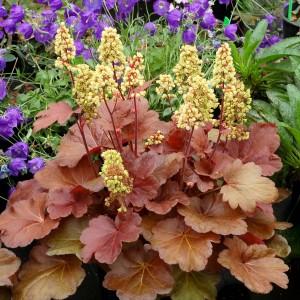 Heuchera roșiatică cu florile galbene (Heuchera 'Little Cutie Blondie')