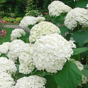 "Hortensie cu flori mari albe - Hydrangea paniculata ""Incrediball"""